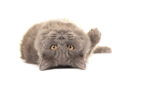 Grey british longhair cat lying upside down playing rolling over isolated on a white background