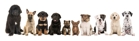 Photo pour large group of ten different kind of breed puppies on a white background - image libre de droit