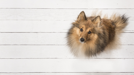 Photo for Adult shetland sheepdog seen from above sitting and looking up on a white wooden planks floor on the right side of the image with space for text on the left of the image - Royalty Free Image