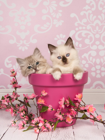 Photo pour Two rag doll baby cats in a pink flowerpot with pink flowers in a pink living room setting - image libre de droit
