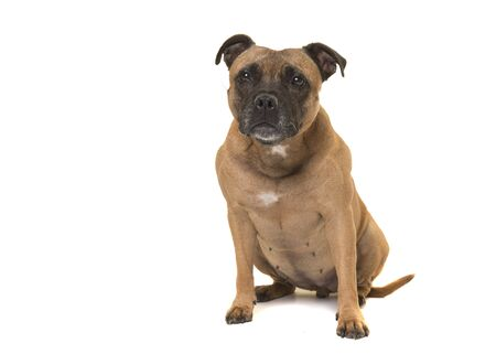 Photo pour Sitting cute Stafford Terrier looking at the camera isolated on a white background - image libre de droit