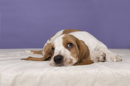 Photo for Cute basset hound puppy lying down looking up on a purple background - Royalty Free Image