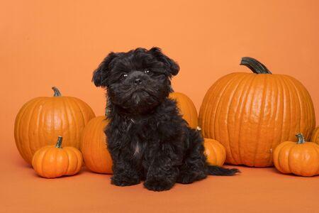 Photo for Cute black puppy sitting between orange pumpkins on an orange background - Royalty Free Image
