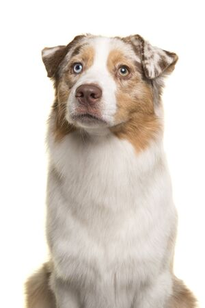 Photo for Portrait of a pretty Australian Shepherd looking up isolated on a white background - Royalty Free Image