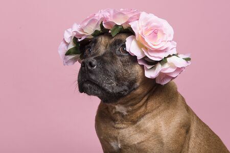 Photo pour Portrait of a cute English Stafford Terrier looking away wearing a flower wreath on a pink background - image libre de droit