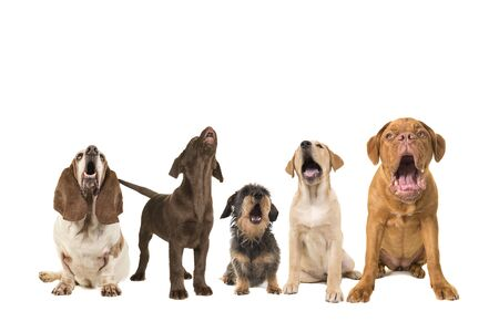 Photo for Group of dogs with various breeds looking up singing on a white background - Royalty Free Image