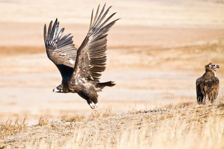 Black Vulture cathing up speed in the search for corpses