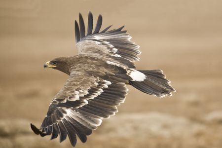 The Steppe Eagle flying close to the ground searching for pray