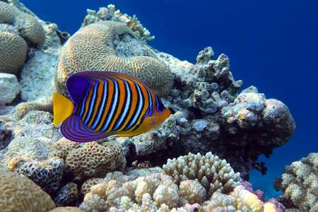 Photo pour Angel fish, Regal angelfish, (Pygoplites diacanthus) in tropical coral reef - Red sea - image libre de droit