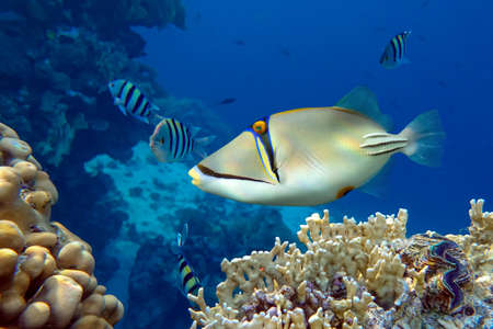 Photo pour Picasso triggerfish (Rhinecanthus aculeatus), coral fish on the coral reef. - image libre de droit