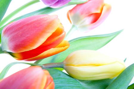 Photo pour tulips over white - image libre de droit
