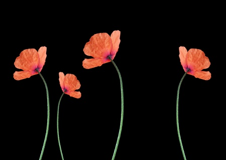four red corn poppy over black background