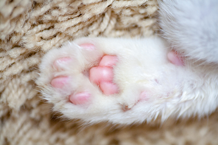 Foto de Cat's paw covered with white wool with fingertips and claws close-up. - Imagen libre de derechos