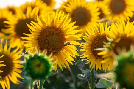 Photo pour Blooming sunflower in a field with bright yellow petals against other sunflowers and a blue sky. In the field of sunflowers ripen the harvest of seeds. - image libre de droit