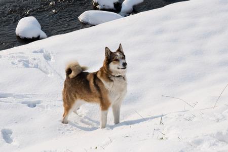 Female West Siberian Laika walking in winter along the river Morava in Litovel