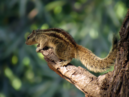 Hunger  Games : a squirrel captured just before her leap towards food. Gujarat  India.