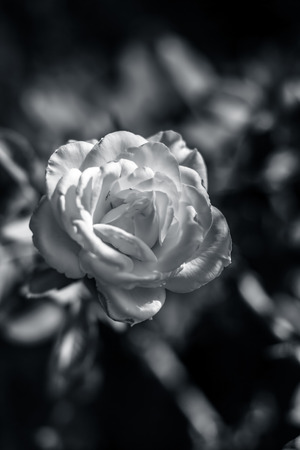 Rose flower : A symbol of love & affection.