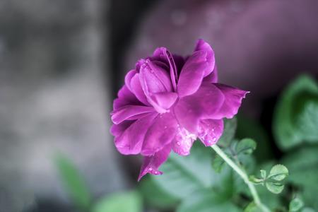 Rose flower : A symbol of love & Care.