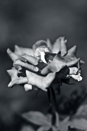 A monochrome rose flower