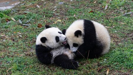 Foto de Two Giant panda cubs playing together on the ground, Central China - Imagen libre de derechos