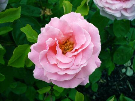 Rosa gallica - pink rose