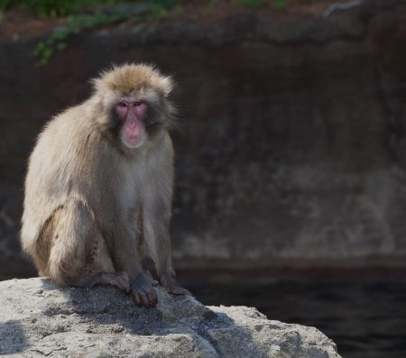 Close-up of a Japanese macaque or Snow monkey, sitting on a rock