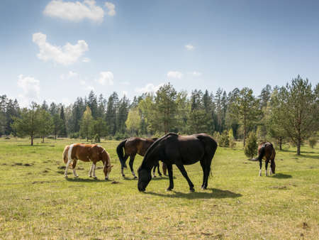 Photo pour Group of horses graze in the meadow - image libre de droit