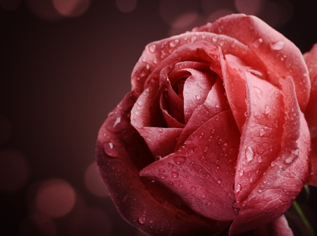 Beautiful pink rose on dark background
