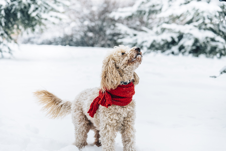 Foto de Cute and funny little dog with red scarf playing and jumping in the snow. Happy puddle having fun with snowflakes. Outdoor winter happiness. - Imagen libre de derechos