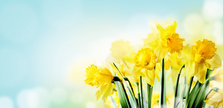 Closeup of beautiful spring daffodil bunch in garden with sunlight and bokeh sky background. Springtime yellow narcissus flower in sunny filed. Nature landscape design wallpaper. April easter holiday layout banner.