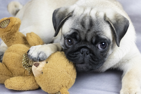 Photo pour funny pug puppy playing with a soft toy, close-up - image libre de droit