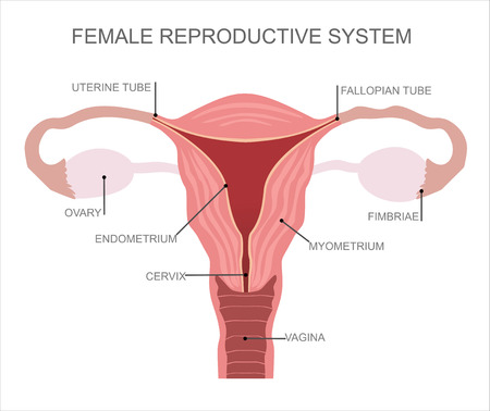 Illustration for Uterus and ovaries, organs of female reproductive system - Royalty Free Image