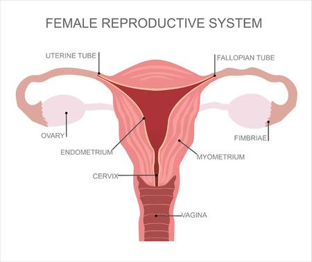 Illustration pour Uterus and ovaries, organs of female reproductive system - image libre de droit