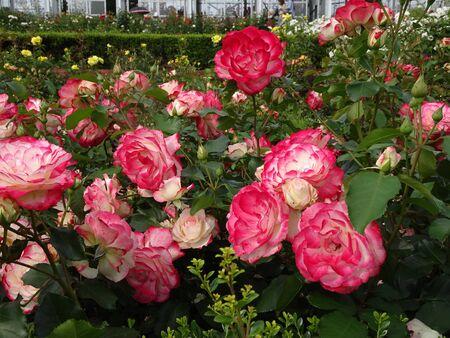 Rose photos of roserosesの素材 [FY310135647612]