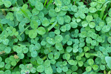 Leaves of Trifolium repens also known as White clover in full frame
