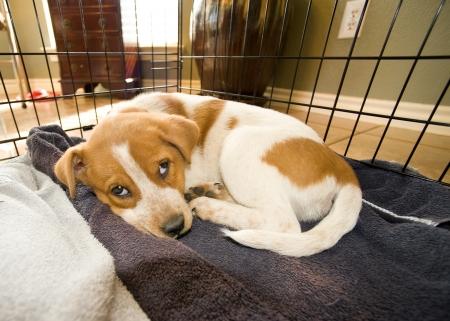 Texas  Red Heeler Pup  11  Weeks Old.