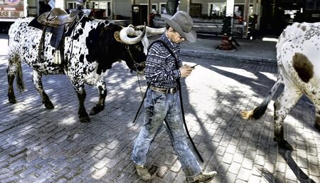 Foto für Fort Worth,Texas, Jan.4,2020 - Longhorn cattle drive at the Fort Worth Stockyards. Cowboy texting and driving a large bull. - Lizenzfreies Bild