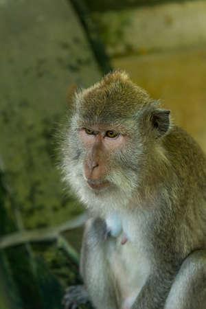 Photo pour Monkeys in Ubud Bali - image libre de droit