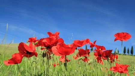 red poppies on sky, Tuscany
