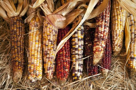 A group of all Thanksgiving or Halloween October raw ears of corn on the cob fresh off the stalks in a horizontal format.
