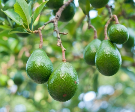 Foto für Avocado in the tree - Lizenzfreies Bild