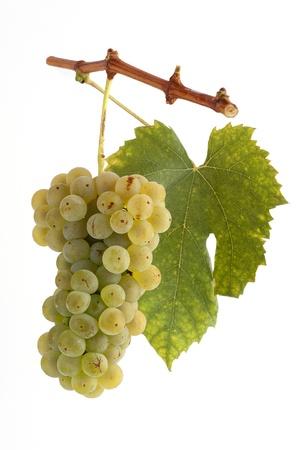 Foto für White grapes on a branch with leaf and white background - Lizenzfreies Bild