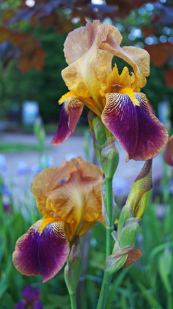 Photo for Iris flower with purple, white and yellow petals on a green stalk on a summer day - Royalty Free Image