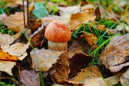 Mushroom boletus with a red hat and a white leg grows in the grass in fallen leaves on an autumn day