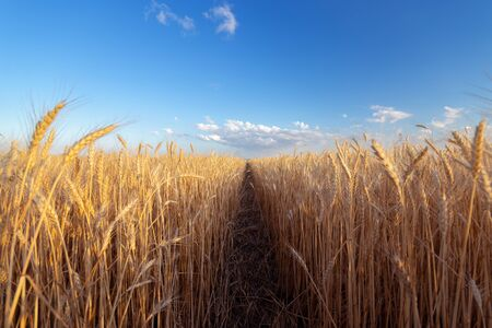 Photo pour the wheat field the colors of paints / the nature of the early summer just before sunset - image libre de droit