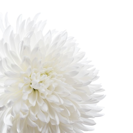 White chrysanthemum isolated on white