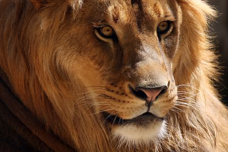 Closeup of a male African Lion