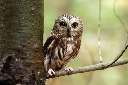 Northern Saw-Whet Owl perching in a tree.