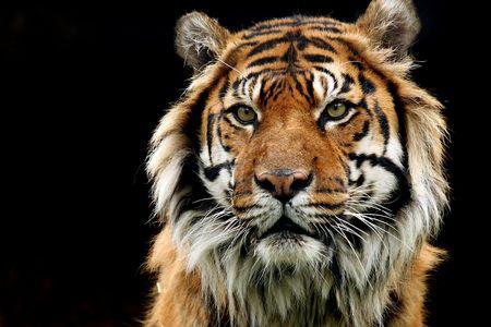 Closeup of a Sumatran Tiger against a black background.