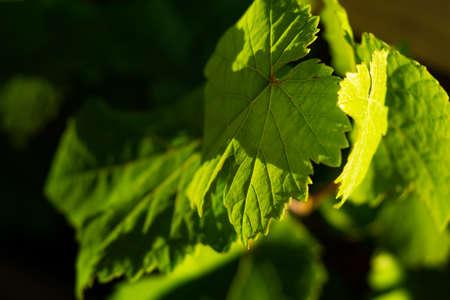 Foto de green wine leaves in detail - Imagen libre de derechos